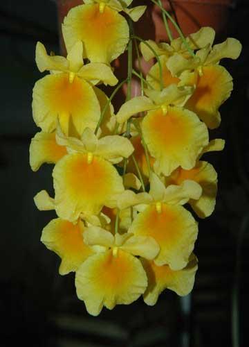 u.2.Dendrobium-aggregatum.jpg